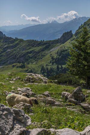 sheeps between the beautiful swiss alps near toggenburg, summer