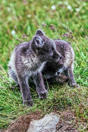 portrait of two young playful arctic fox cub in iceland, summer Banco de Imagens