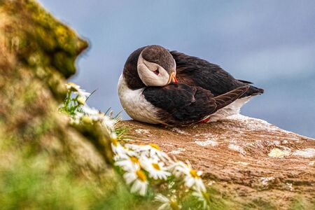 Detailed portrait of a sleeping puffin with leucanthemum on iceland, summer Stock fotó
