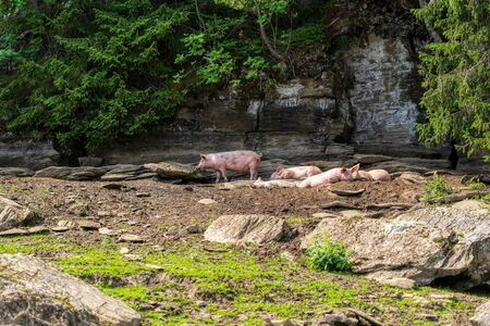 pigs on a farm between the beautiful swiss alps near toggenburg, summer