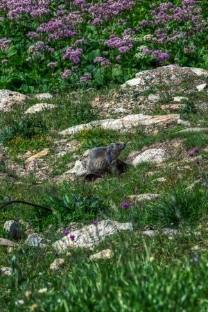 brown marmot takes a sunbath between swiss alps, switzerland