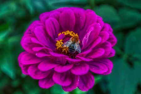 Detailed macro shot of a bumblebee, sitting on a pink zinnia elegans flower, nature 免版税图像