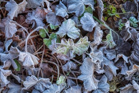 Autumn Leaves And Grass With Hoarfrost in the black forest, germany