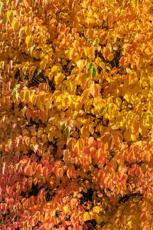 autumn landscape with orange and yellow colorful leaves. Indian summer