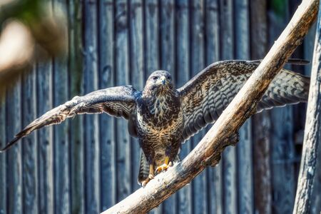 portait of an eagle with wide open wings in zoo, germany Imagens
