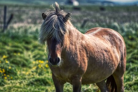 Portrait of a typical brown horse on iceland, summer
