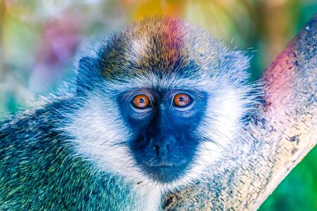 green monkey sitting on a tree looking into the camera, Ethiopia
