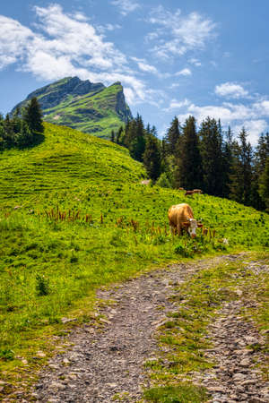 Cows on a mountain pasture during a hike through the Swiss Alps, summer