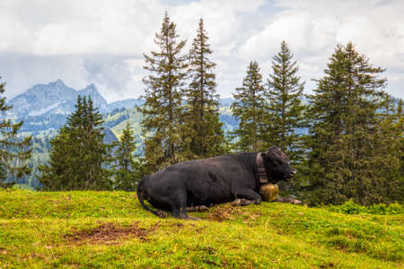 Typical Swiss cow on an alpine pasture in the Swiss Alps during a hike, summer