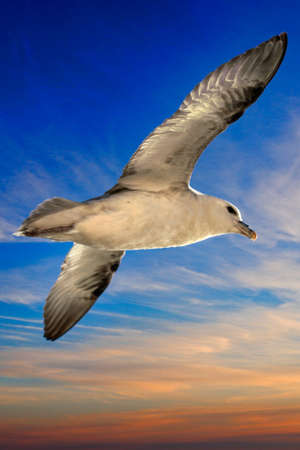Beautiful Seagull flying over the ocean on iceland, wildlife