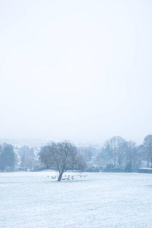 Snowy sheeps at Lousberg in Aachen, Germany
