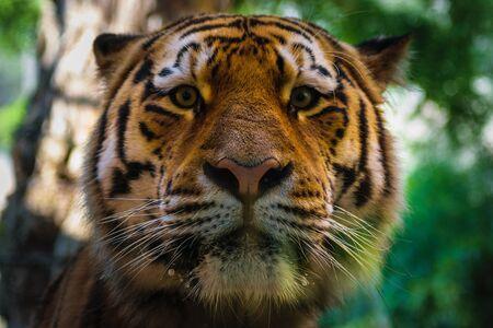 big tigers face portrait closeup, bokeh background