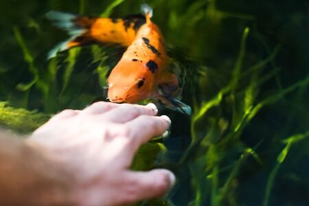 colourful kois fish eating from hand orange and black
