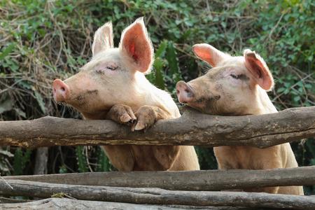Twee nieuwsgierige varkens op een boerderij