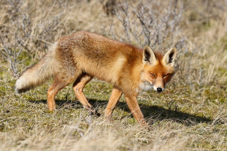 a wild red fox walking in the sun at the Amsterdamse Waterleiding Duinen (AWD) in Vogelenzang, North-Holland, The Netherlands