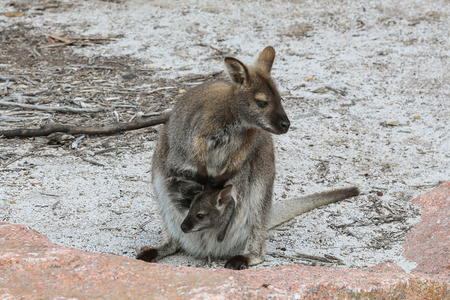 biped: Wallaby with young in pouch in Freycinet National Park, Tasmania Stock Photo