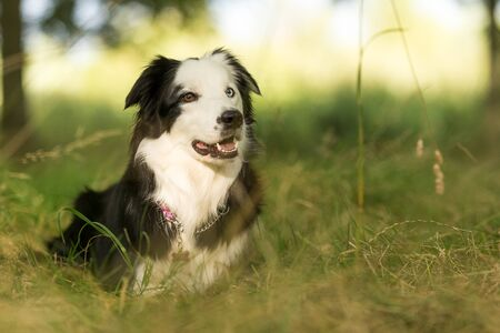 Purebred border collie dog outdoors on a sunny summer day staring in the shade. Banco de Imagens