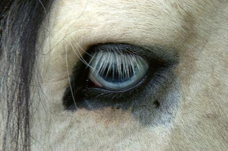 piebald: Caballo cerca del ojo