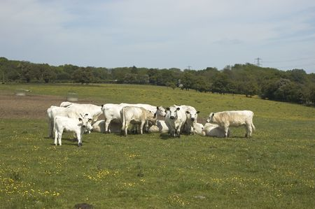A herd of cows in a field in summer Stock Photo - 1005906