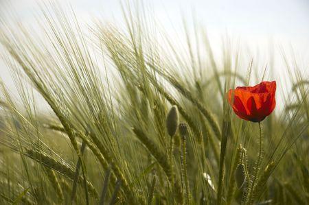 A lone poppy in a field of wheat