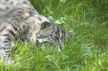 prionailurus: The rare Fishing cat , Felis (Prionailurus) viverrina  Stock Photo