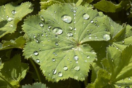alchemilla mollis: Rian drops on the leaf of a Ladys Mantle