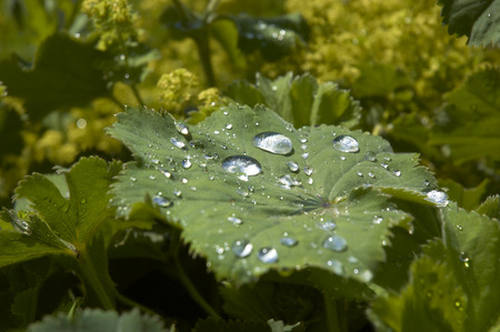 Rain drops on the leaf of a Ladys Mantle photo