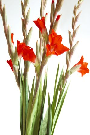 Red Gladiolus on a white background Stock Photo