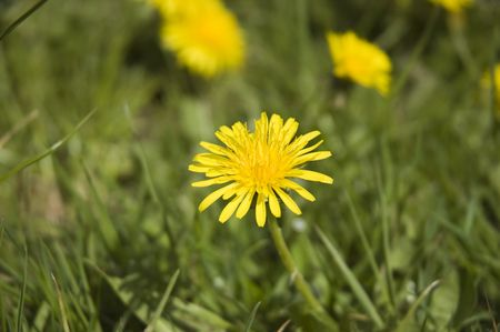 Dandelion flowers in the grass in spring Stock Photo - 3092073