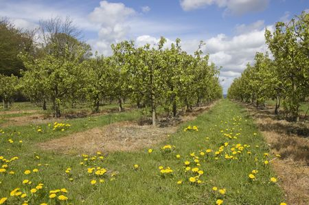 A view of an apple orchard in Kent ,England photo