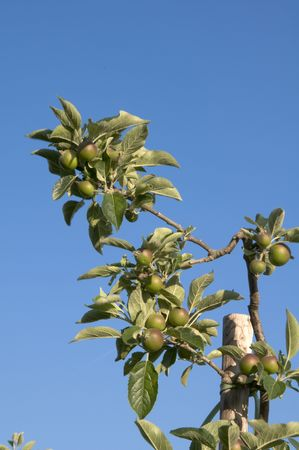 unripened: Small, un-ripened apples on a branch with clear blue sky