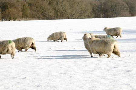 A flock of sheep in field of snow in winter Stock Photo - 4600960