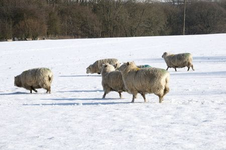 A flock of sheep in field of snow in winter Stock Photo - 4600926