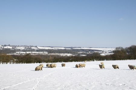 A flock of sheep in field of snow in winter Stock Photo - 4600904