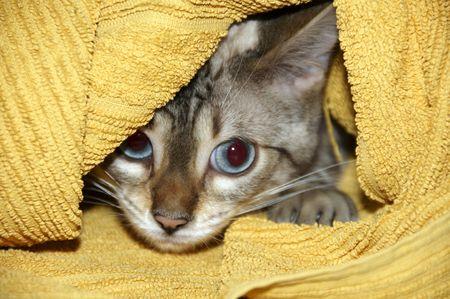 A Bengal kitten hiding under a yellow towel Stock Photo