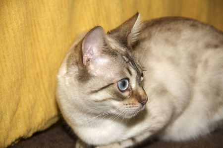 furred: A bengal cat with a yellow background