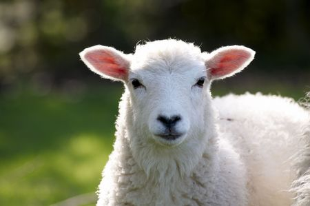 A lamb in a field in the sunshine