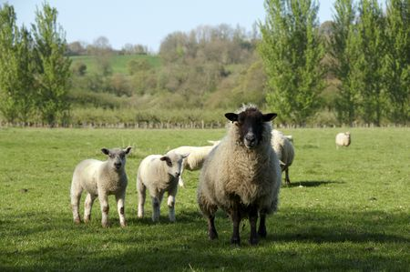 A Ewe with her lambs in a field