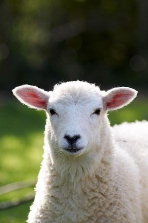 Un agneau dans un champ au soleil
