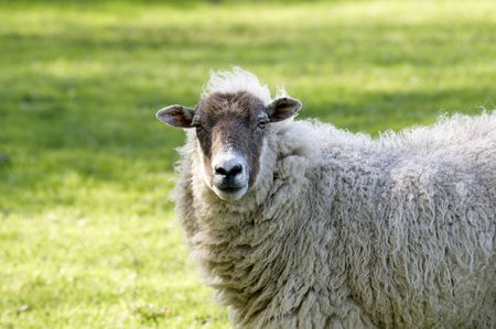 A sheep in a field in the sunshine Stock Photo - 4951562