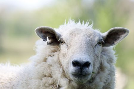 A sheep in a field in the sunshine Stock Photo - 4951559