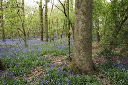 A view of bluebells in a wood at spring time photo