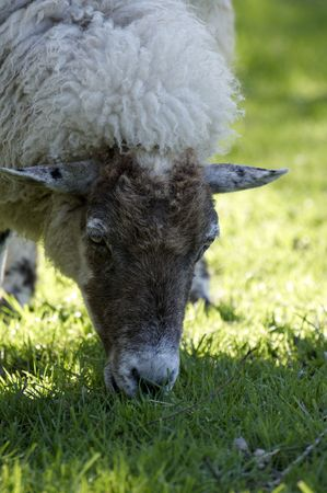A sheep in a field in the sunshine Stock Photo - 5033799