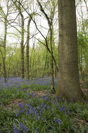 A view of bluebells in a wood at spring time Stock Photo - 5075019