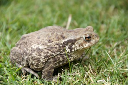 A brown frog siting in the grass photo