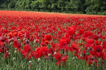 A field of poppies in the Kent countryside photo