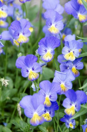 Detail of some blue  and yellow violets Stock Photo