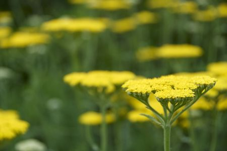 A sea of yellow achillea and green leaves photo
