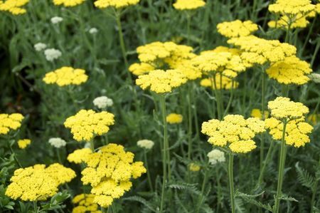 A sea of yellow achillea and green leaves Stock Photo