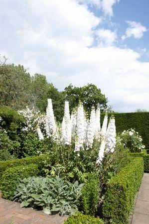 Delphiniums blancs dans un jardin avec ciel nuageux